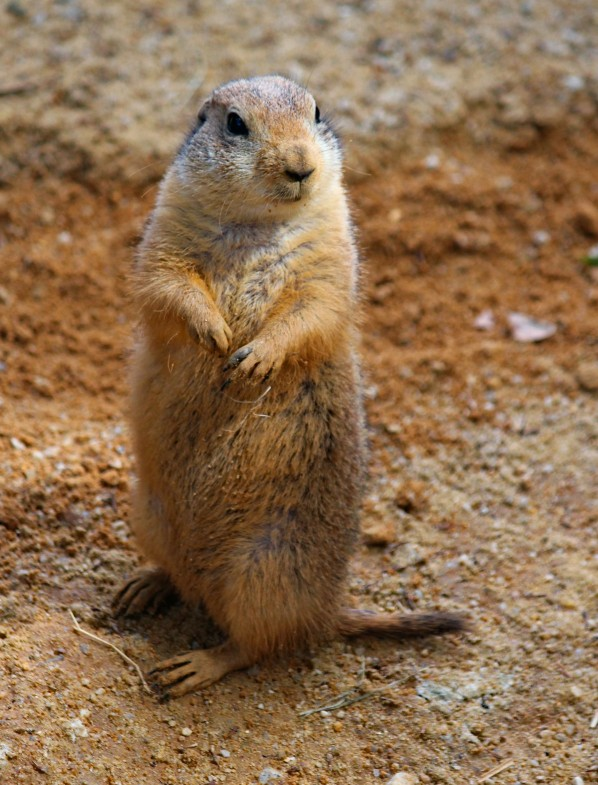 prairie dog overlooking