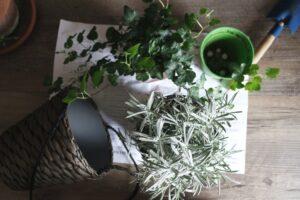 English ivy - plants for better sleep