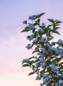 Jasmine plant for sleeping