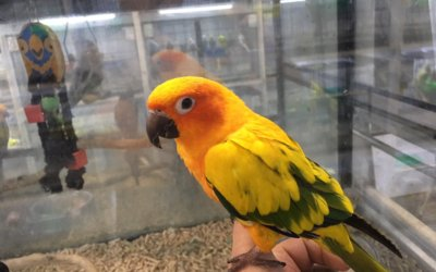 Just arrived! We have just got in a gorgeous baby Sun Conure