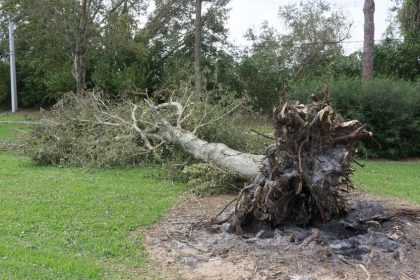 63762590 - ponte vedra beach, florida, usa - october 11, 2016: a fallen tree after hurricane matthew blew along the east coast of florida on october 7, 2016.