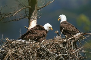 Eagle hovering over nest