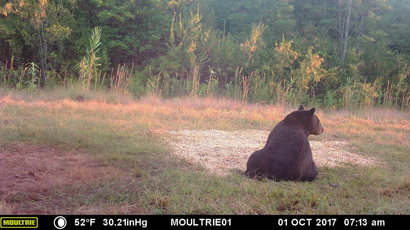 Lone Black Bear at Bait