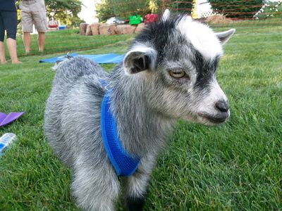 tiny goat yoga