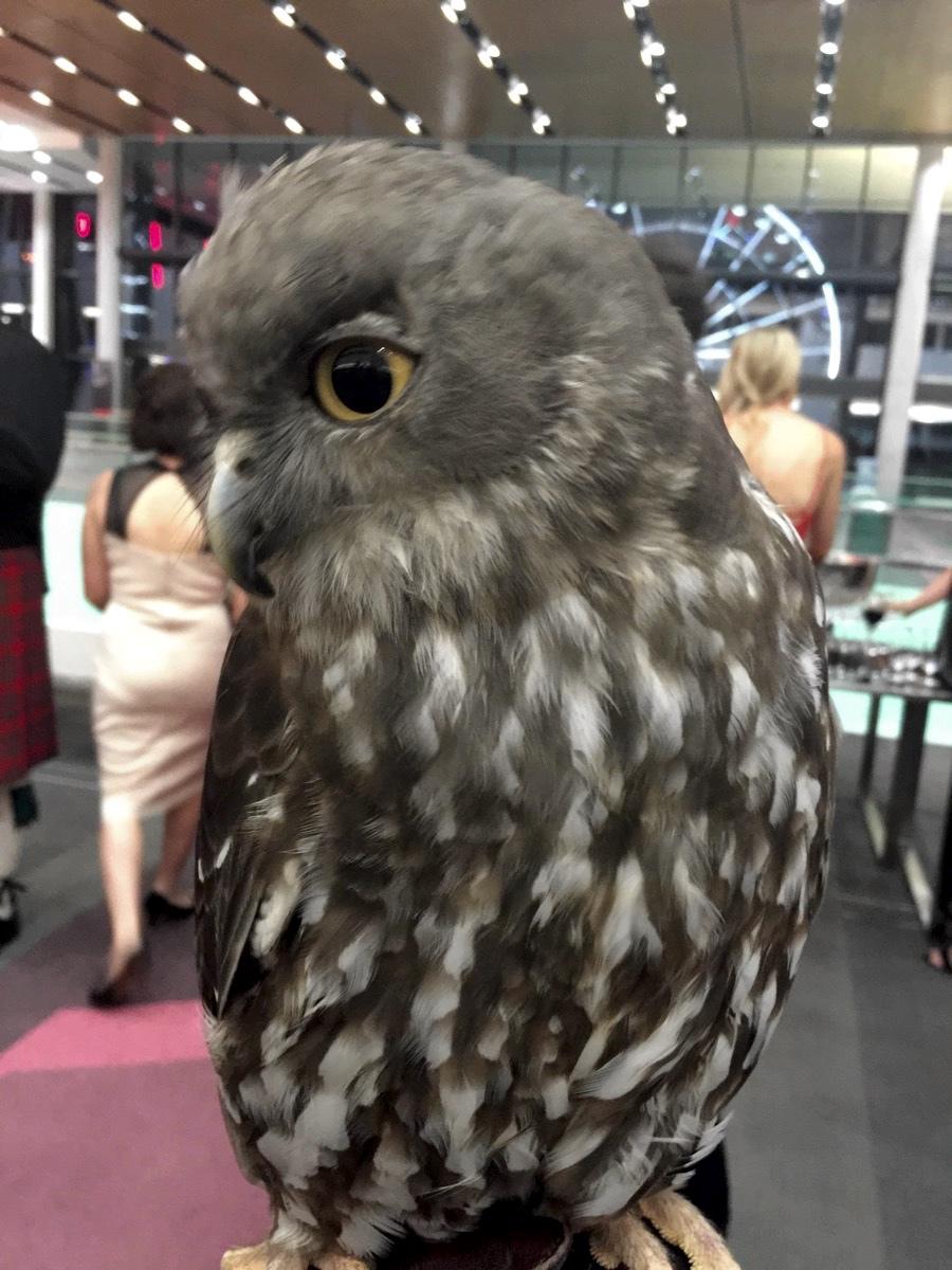 Minnik Chartered Accountants - Australia Zoo - Beautiful Barking Owl Comes to Dinner