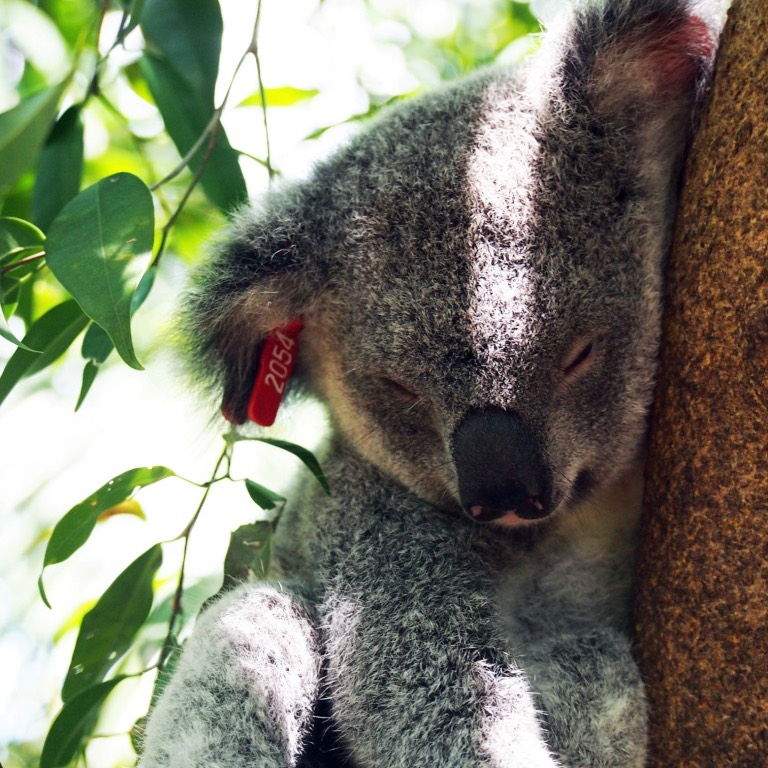 Minnik Integrated Financial Solutions - Australia Zoo - Galaxy the Koala Joey