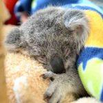 Minnik Chartered Accountants - Wealth Advisors - Professional Group - Lucy the Koala Joey