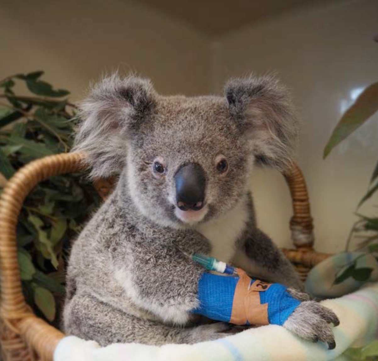 Minnik Chartered Accountants - Australia Zoo - Molly the Koala Joey