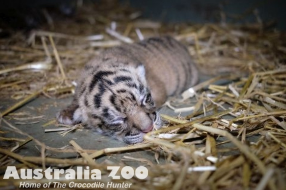 Minnik Chartered Accountants - Australia Zoo -Two Tiger Cubs Roar Into The World At Australia Zoo