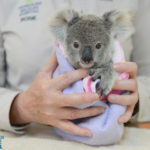 Minnik Chartered Accountants - Australia Zoo -Shayne the Koala Joey 3