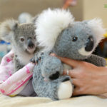 Minnik Integrated Financial Solutions - Australia Zoo - Shayne the Koala Joey