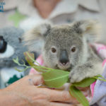 Minnik Chartered Accountants - Australia Zoo - Shayne the Koala Joey