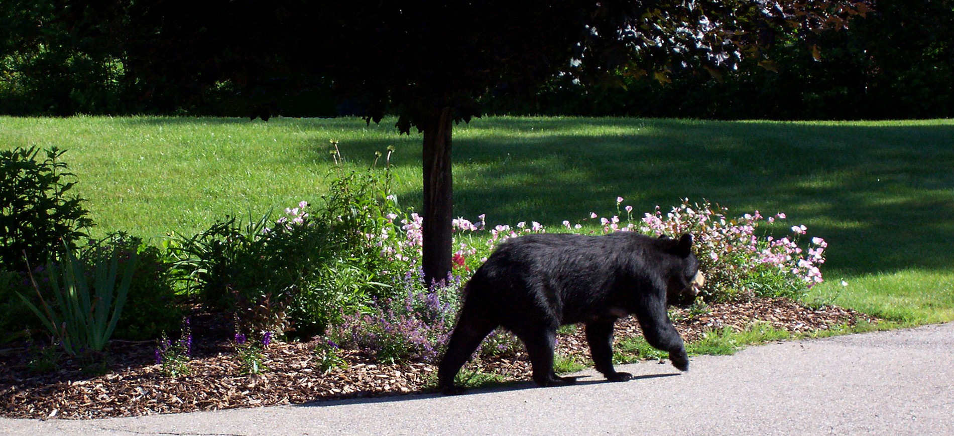 Black bear walking on driveway with flower garden behind