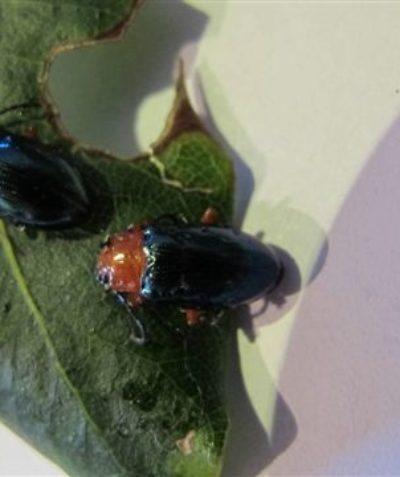 Arborist tree survey, pittosporum beetles feeding on sweet pittosporum, Lismore