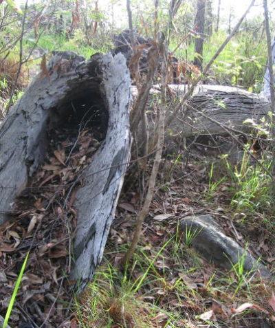 Ecologist fauna habitat searches of fallen timber for development proposal, Murwillumbah