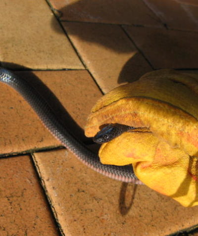 Eastern small-eyed snake sometimes mistaken for a red-bellied black snake, ecologist survey Alstonville