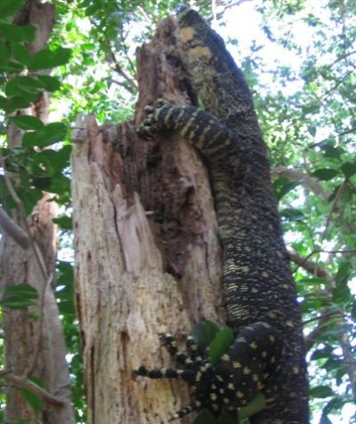 Lace Monitor Goanna in lowland rainforest ecologist survey assessment, Byron Shire Council