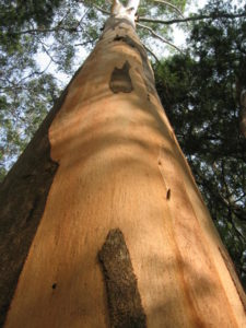Distinctive orange new bark on Small-fruited Grey Gum, ecologist survey assessment for development, Murwillumbah