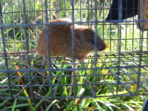 Grassland Melomys in cage trap, ecologist fauna trapping survey, Billinudgel Byron Shire