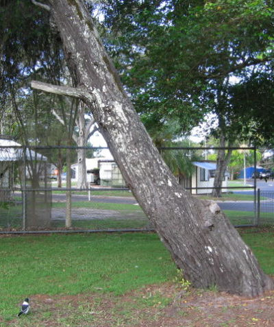 Significant lean and large decay cavity in stem opposite lean, arborist tree risk assessment, Brunswick Heads Public School