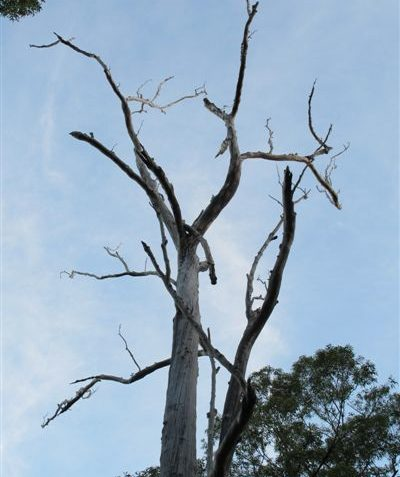 Sunset nocturnal ecologist stag watch on dead hollow bearing tree leaning over road prior to clearing, Byron Shire