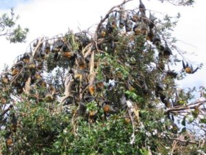 Threatened Grey-headed Flying-foxes damaging threatened rainforest vegetation, Lismore Council ecologist Review of Environmental Factors