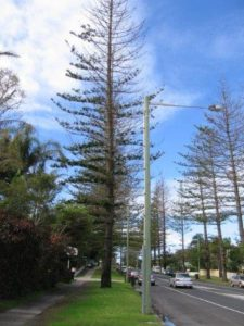 Arborist assessment, report and treatment of Norfolk Island Pine trees in Byron Bay following severe storm damage and drought