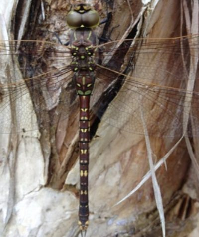 Forest Darner dragonfly on Broad-leaved Paperbark, ecologist fauna survey Ballina