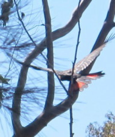 Threatened Glossy Black-cockatoo ecologist habitat assessment, Tucabia via Grafton