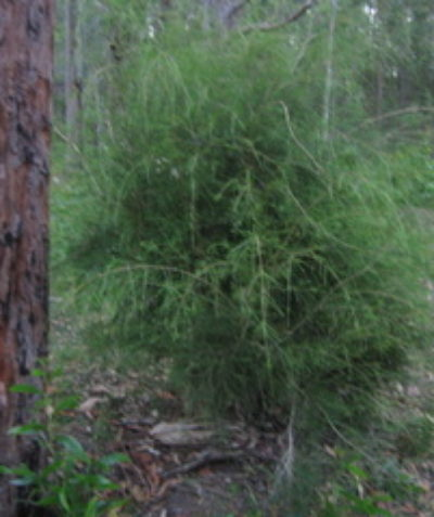 Threatened Weeping Paperbark (Melaleuca irbyana) ecologist assessment, New Italy via Woodburn