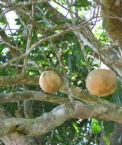 Threatened Ball Nut (Floydia praealta) with fruit, Lismore development ecologist assessment