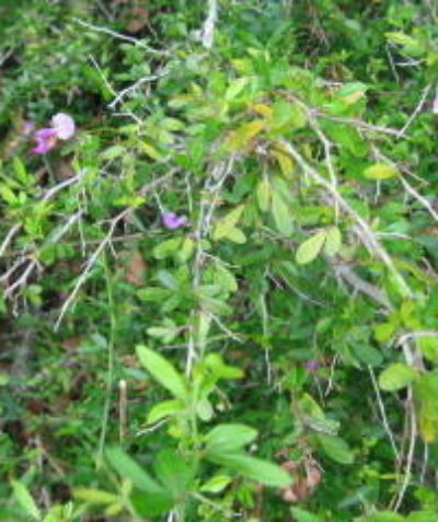 Threatened Thorny Pea (Desmodium acanthocladum) ecologist assessment report in riverine understorey, Booyong via Lismore