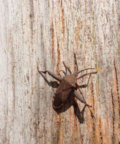 Sap sucking crusader bug on Eucalyptus, Byron Bay