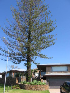 Tree health monitoring and treatment of Norfolk Island Pine following development root damage, Lennox Head