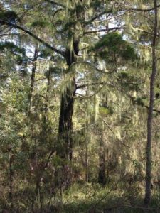 Phytophthora disease ecologist assessment and monitoring in Endangered Ecological Community (EEC), Jali Indigenous Protected Area, Wardell via Ballina