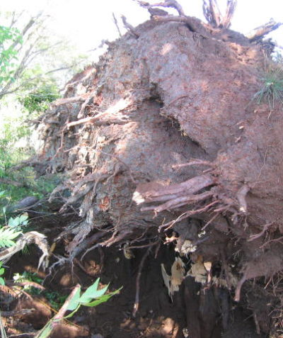 Arborist tree root ball assessment for tree failure analysis, Bangalow
