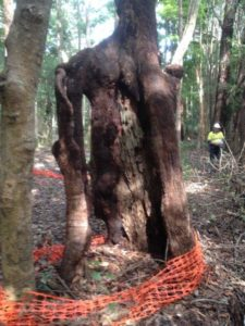 Aboriginal scar tree arborist impact assessment and report, Coolgardie via Ballina