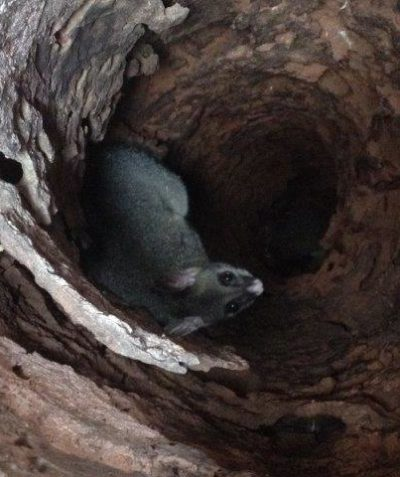 Brush-tailed Possum in tree stem hollow, ecologist monitoring spotter catcher works tree clearing, Summerland Way Casino