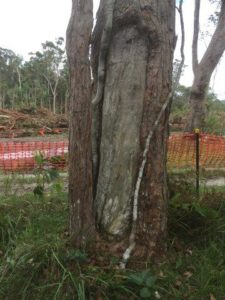 Aboriginal scar tree environmental impact assessment, Pacific Highway upgrade, Wardell via Ballina