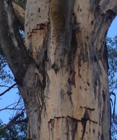 Threatened species Yellow-bellied Glider feed marks on Forest Red Gum, ecologist assessment report for OEH, Cherry Tree State Forest via Casino