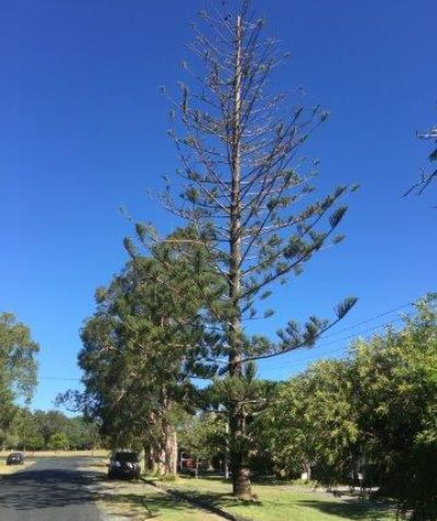 Arborist Norfolk Island pine tree health, condition and risk assessment, Ballina, Ballina Shire Council