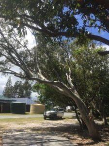 Arborist tree risk assessment, report and recommendations, Ballina Beach Village, South Ballina