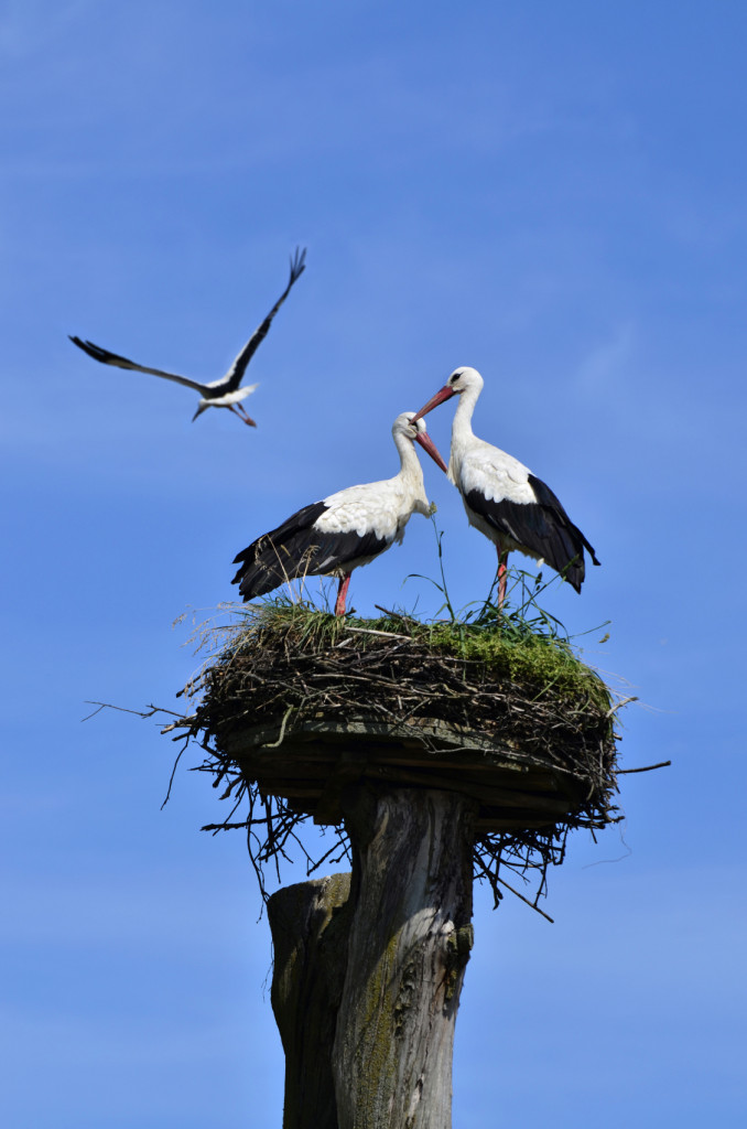 storks in the nest and one flying