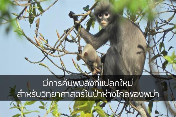มีการค้นพบลิงที่แปลกใหม่สำหรับวิทยาศาสตร์ในป่าห่างไกลของพม่า