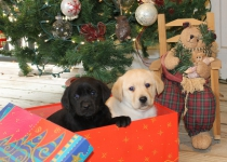 Black and Yellow Christmas pups in Box