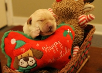 Christmas puppy 1