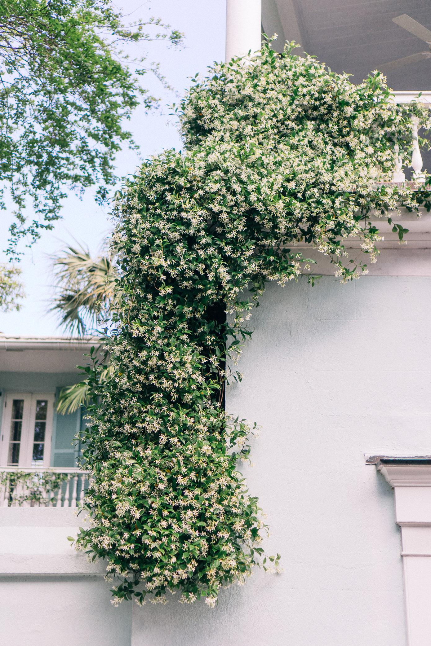 Jasmine Vine | Charleston Homes | Louella Reese Life & Style Blog