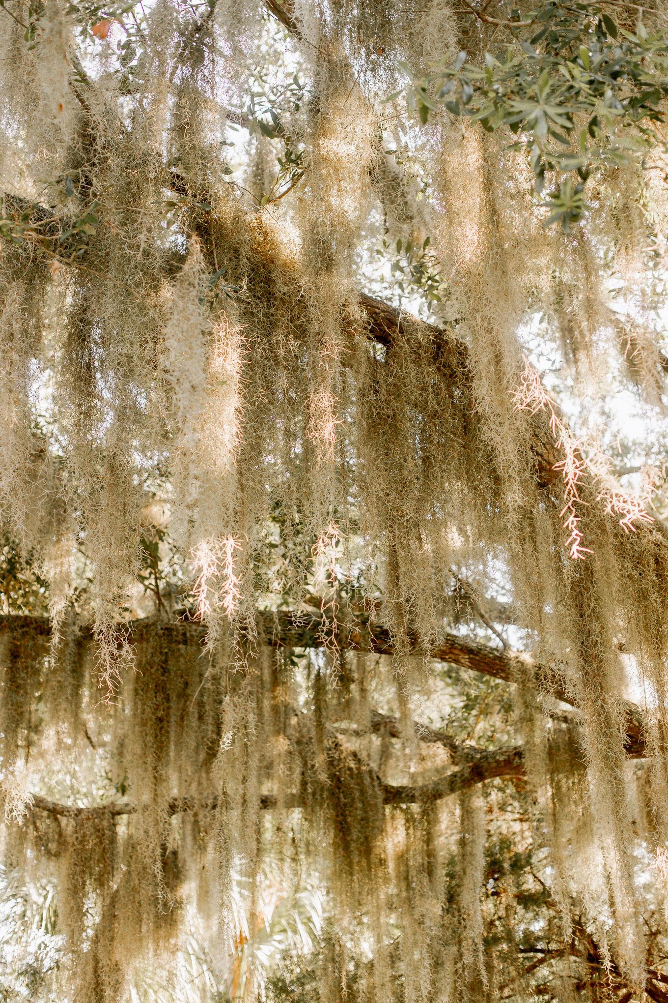 Spanish Moss, Live Oak Trees   Louella Reese