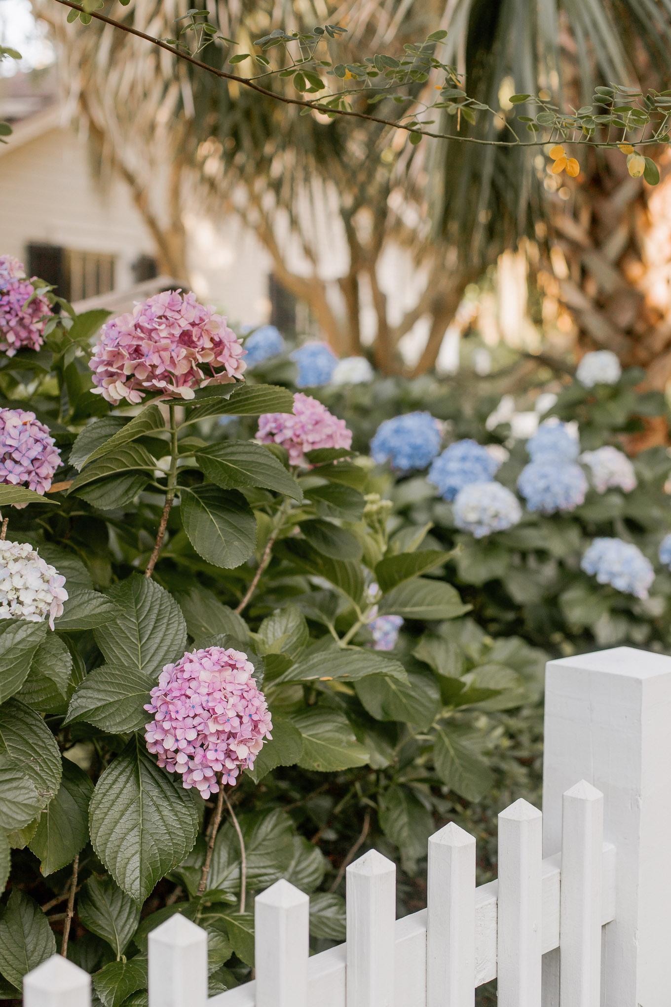 Blue and Purple Hydrangeas   Louella Reese