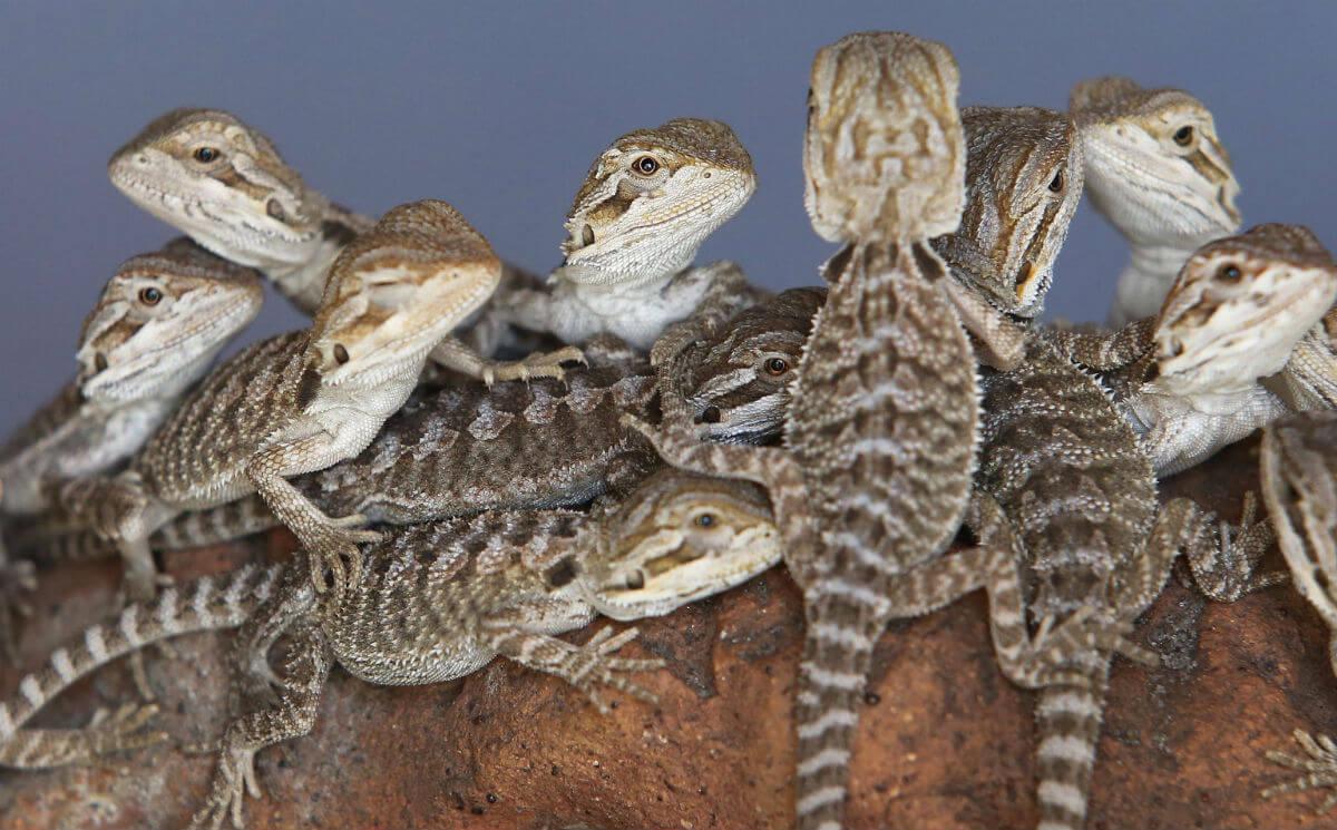 Reptiles Melbourne - Bearded Dragon Babies